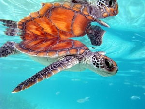 Tahiti Moorea Honeymoon Turtle Swimming Luxury Hotel