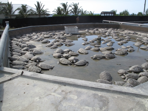 A Pipe Breaks Killing 300 Turtles (c) WSPA