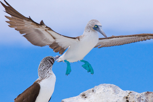 A Booby in the Galapagos